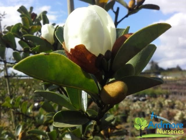 Michelia gracipes small tree with arching growth white scented michelia gracipes small tree with arching growth white scented flowers in spring are produced from mightylinksfo
