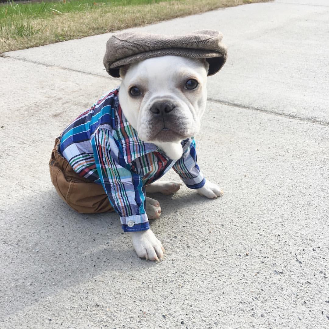 Happy Thanksgiving 🍁 thatfrenchietug .frenchbulldog