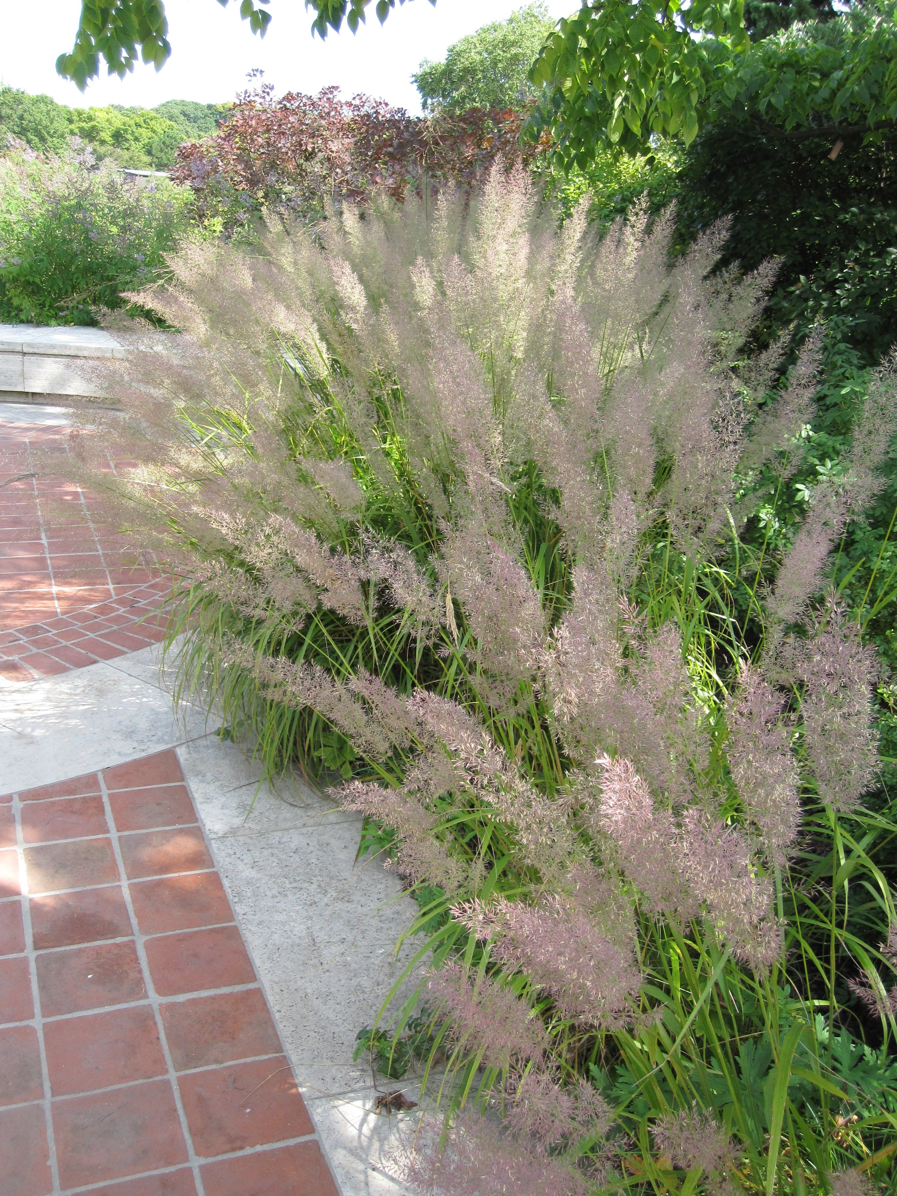 Calamagrostis brachytricha achnatherum brachytricha for Tall ornamental grasses that grow in shade