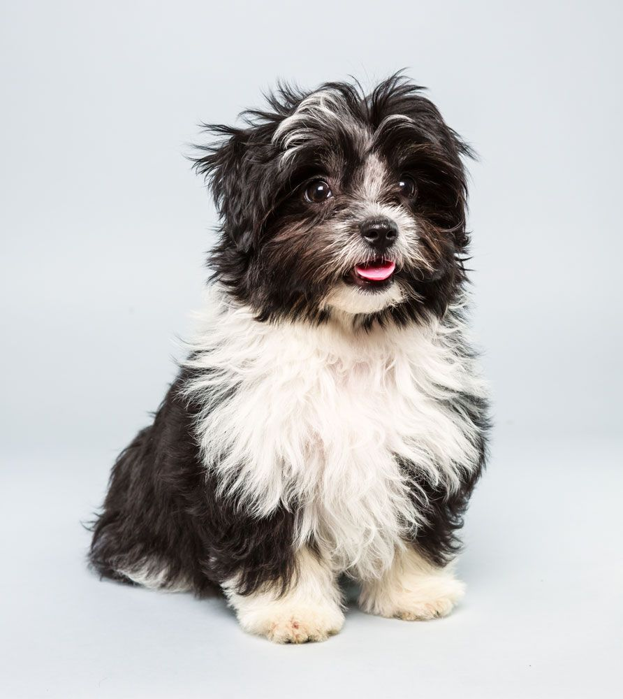 havanese and shih tzu pong will be competing in animal planet s puppybowl age 7168