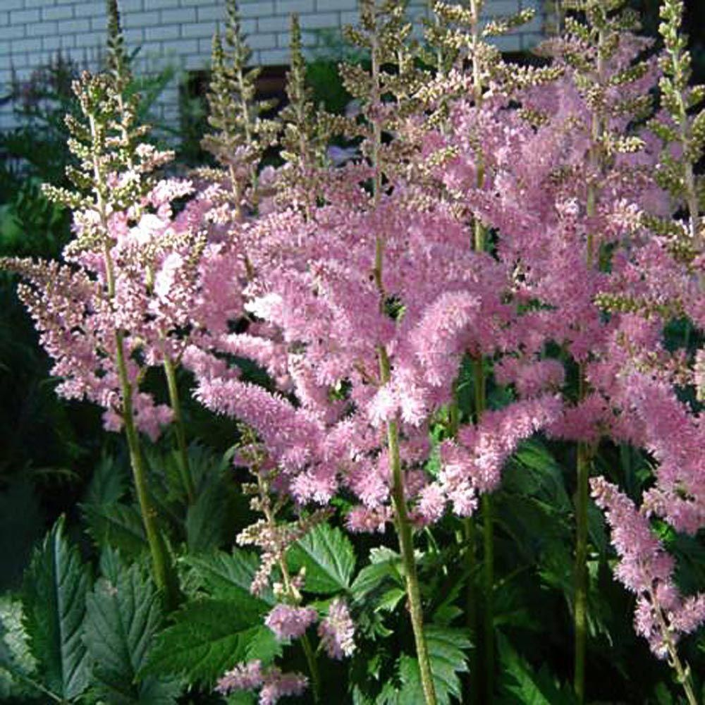 Onlineplantcenter 1 Gal Visions In Pink Meadow Sweet Astilbe Plant