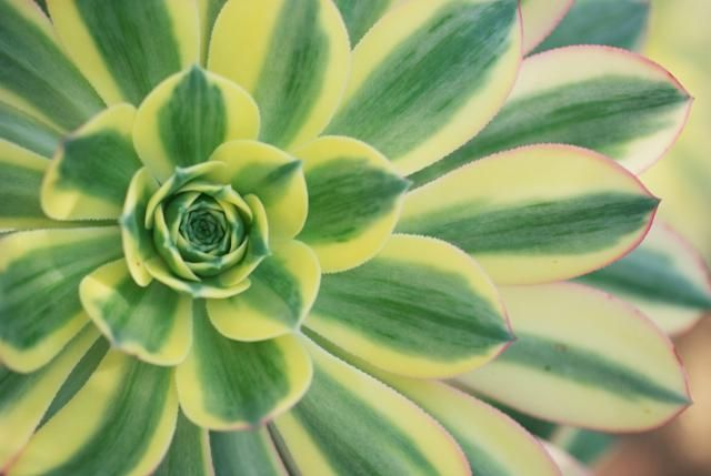 Discover the best and easiest-to-maintain succulents for landscaping. Learn about the various species and see what they look like before buying.: Aeonium