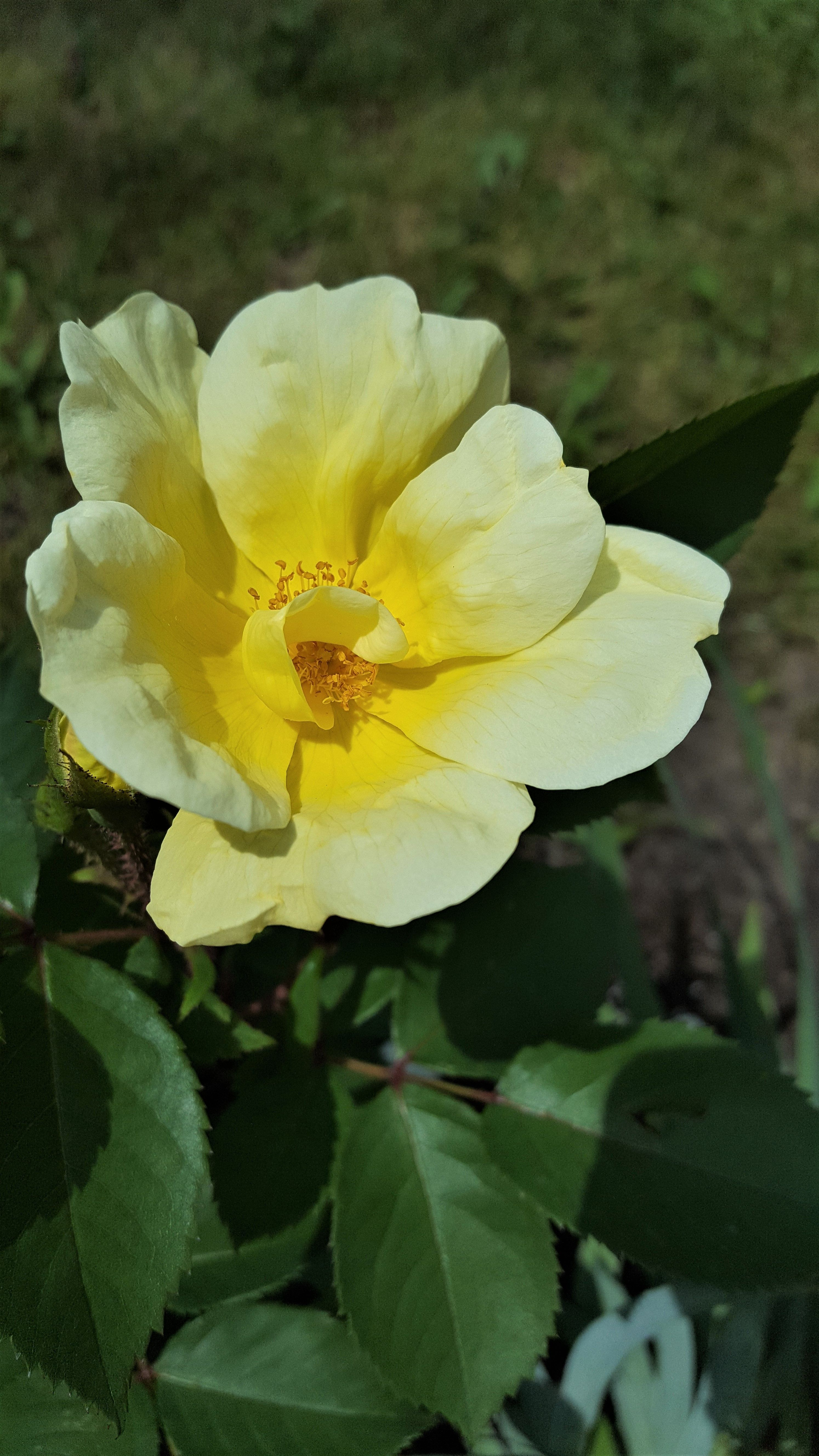 Large White & yellow Rose on the bush for art or color inspiration ...