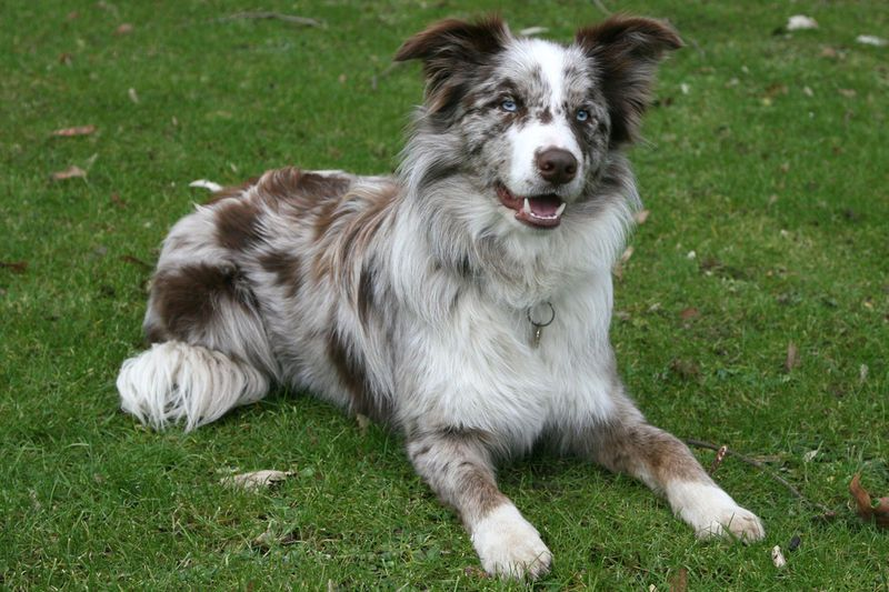 How Many Dog Breeds Do You Know Dogs Dog Breeds Border Collie