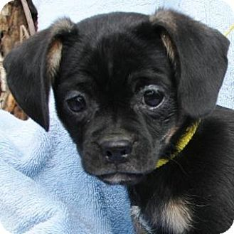 Lovables Gilbert Az Pug Terrier Unknown Type Small Mix