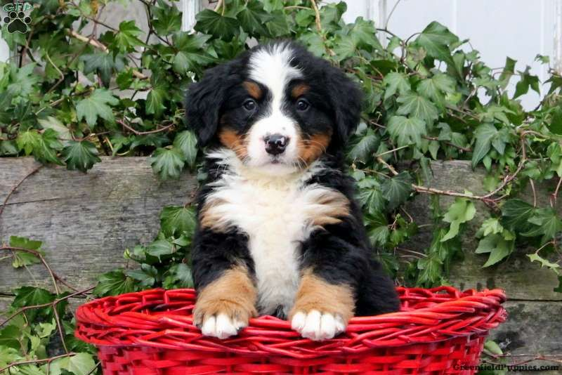 Jeff Bernese Mountain Dog Puppy For Sale In Pennsylvania Dogs