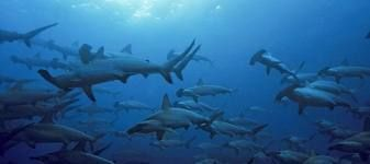 Cocos Island and my favourite shark