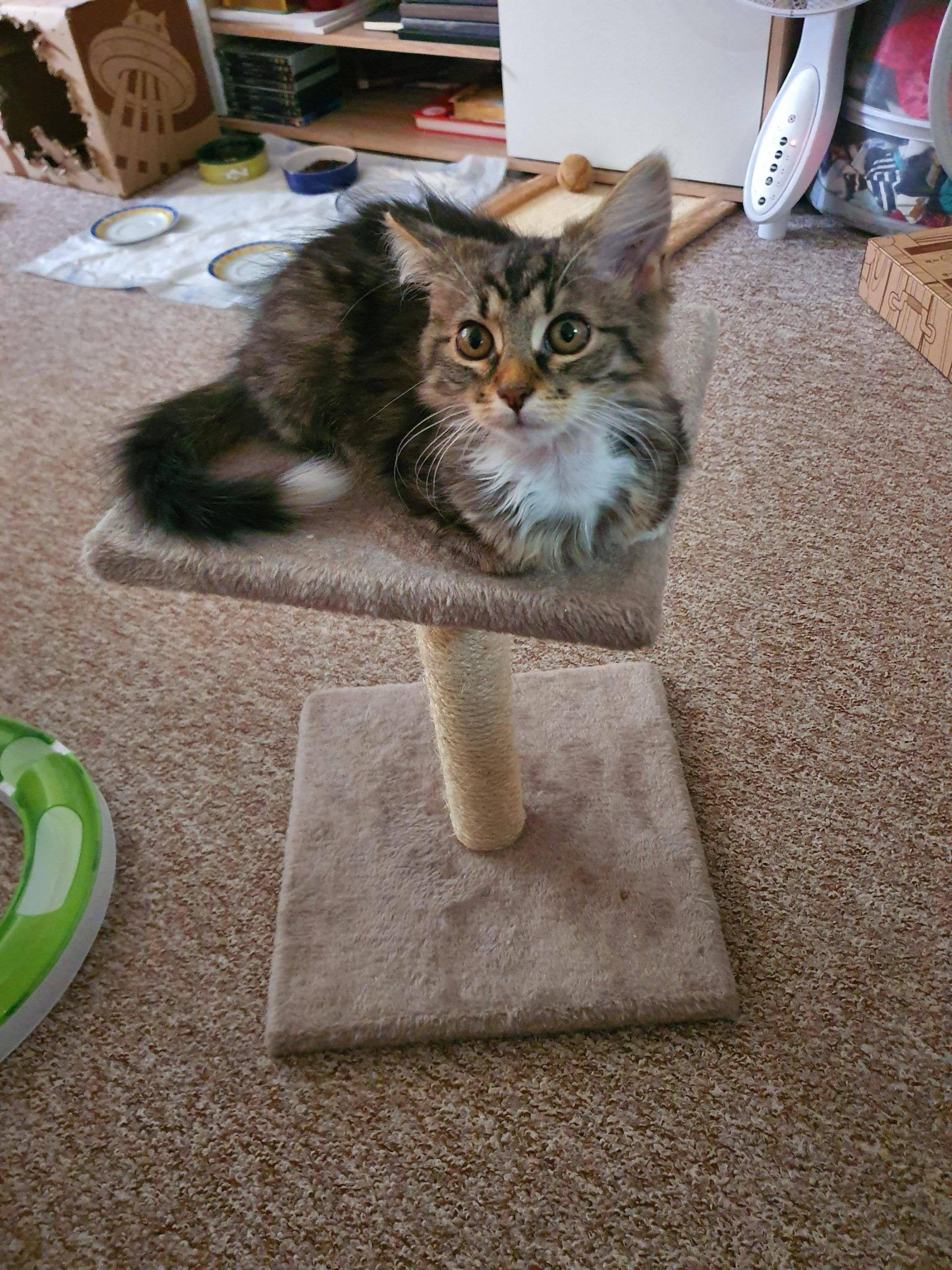 My Kitten Maxie Loafin It Out On Her Scratching Post In 2020 Scratching Post Kitten Scratching