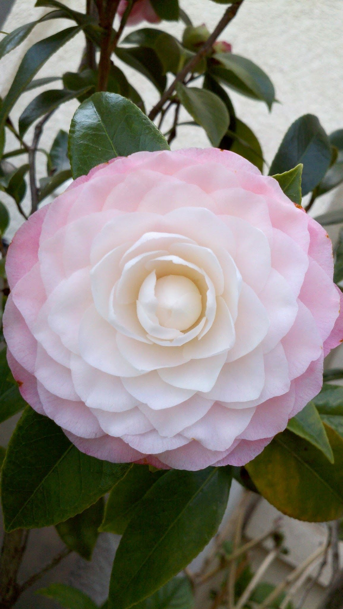 Plantfiles Pictures Common Camellia Japanese Camellia Pink Perfection Camellia Japonica 2 By Jaxflagardener Camellia Plant Shade Flowers Japanese Flowers