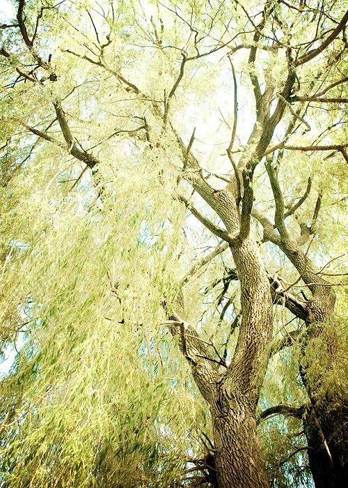 Willow tree photography 5x7 forest photograph tree by kimberlyblok ...