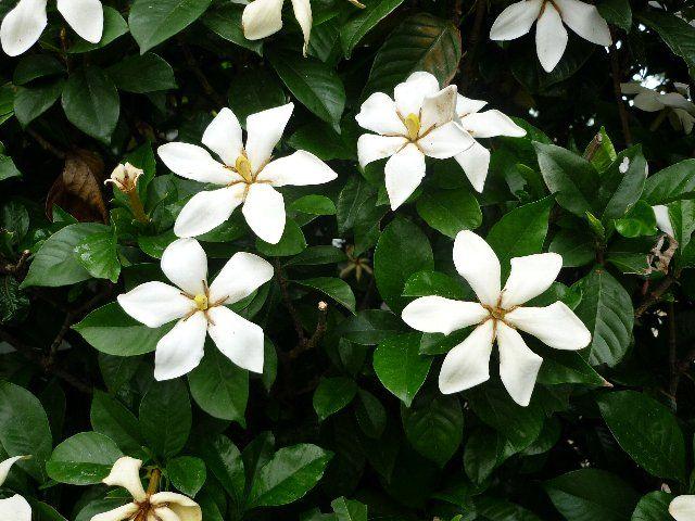 クチナシ くちなし 梔子 クチナシ 誕生花 植物