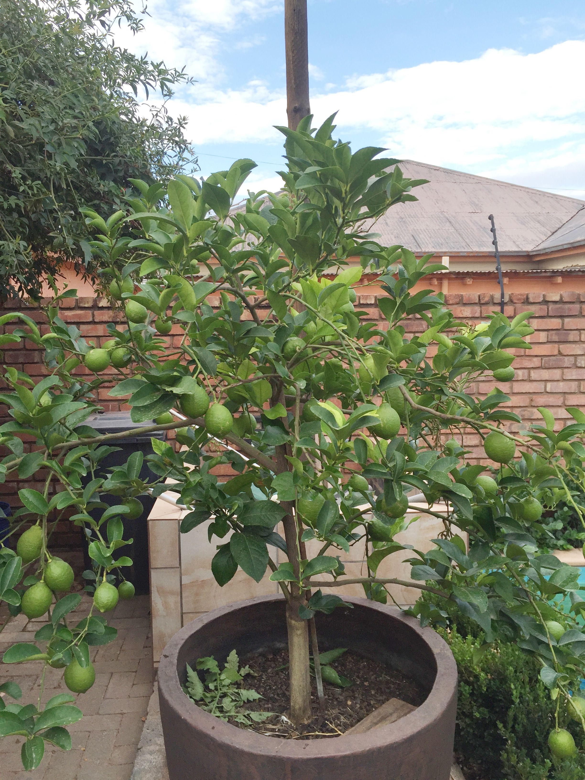 Boom In Pot.Suurlemoen Boom In Pot Plants Garden