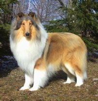 Collars For Rough Collies Sable Smooth Collies Collies