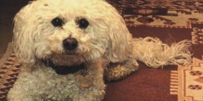 Maltese Dog With Curly White Fur 1 660x330 Jpg Maltese Dogs Maltese Dogs Care