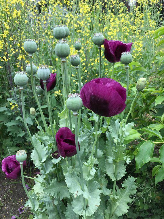 Poppy Seeds Deep Purple 4 ft tall plants 100