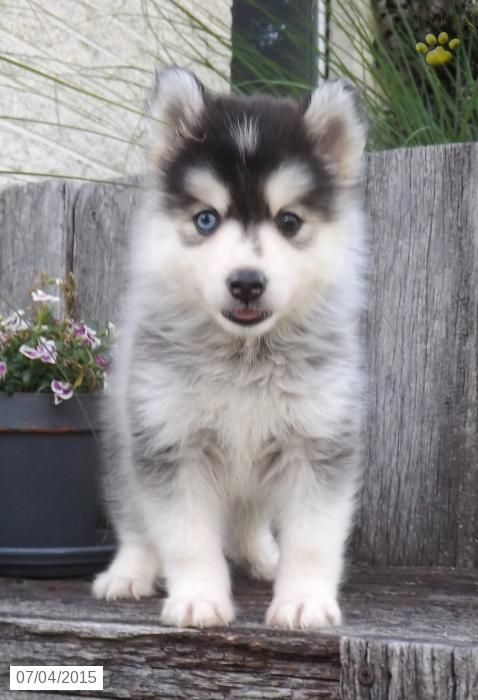 Pomsky Puppy For Sale In Ohio Pomsky Puppies Pomsky Puppies For