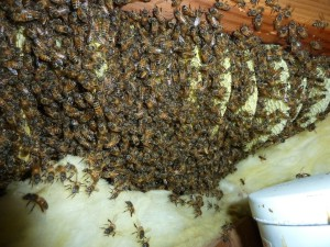 4da65cb609fc39bef5c90018c1ced099 - How To Get Rid Of Bee Hive In Attic