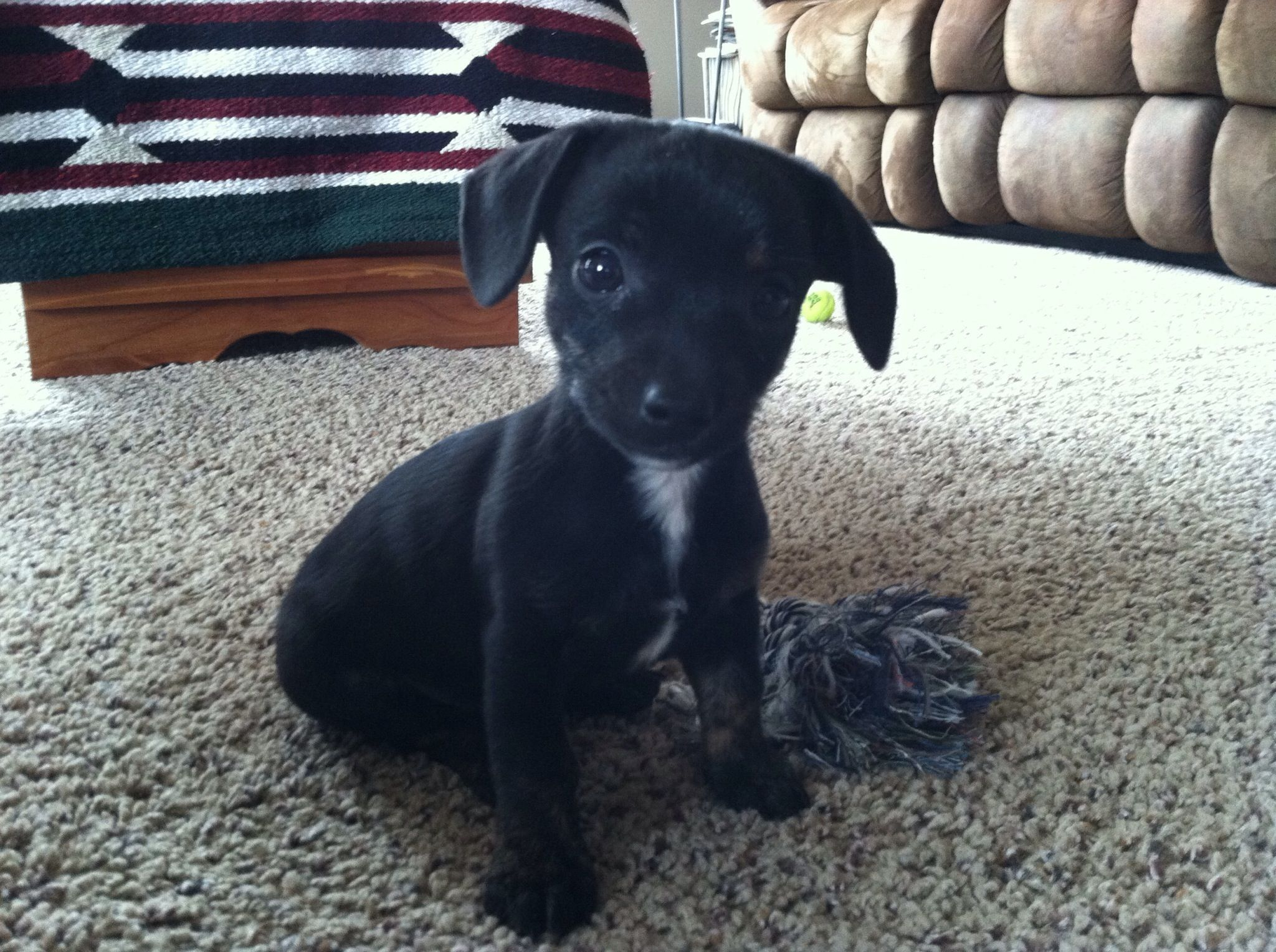 Chiweenie Puppy Looks Just Like Our New Family Member Helga