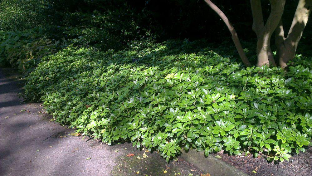 pachysandra terminalis green carpet google search plantation 2016 pinterest green carpet. Black Bedroom Furniture Sets. Home Design Ideas