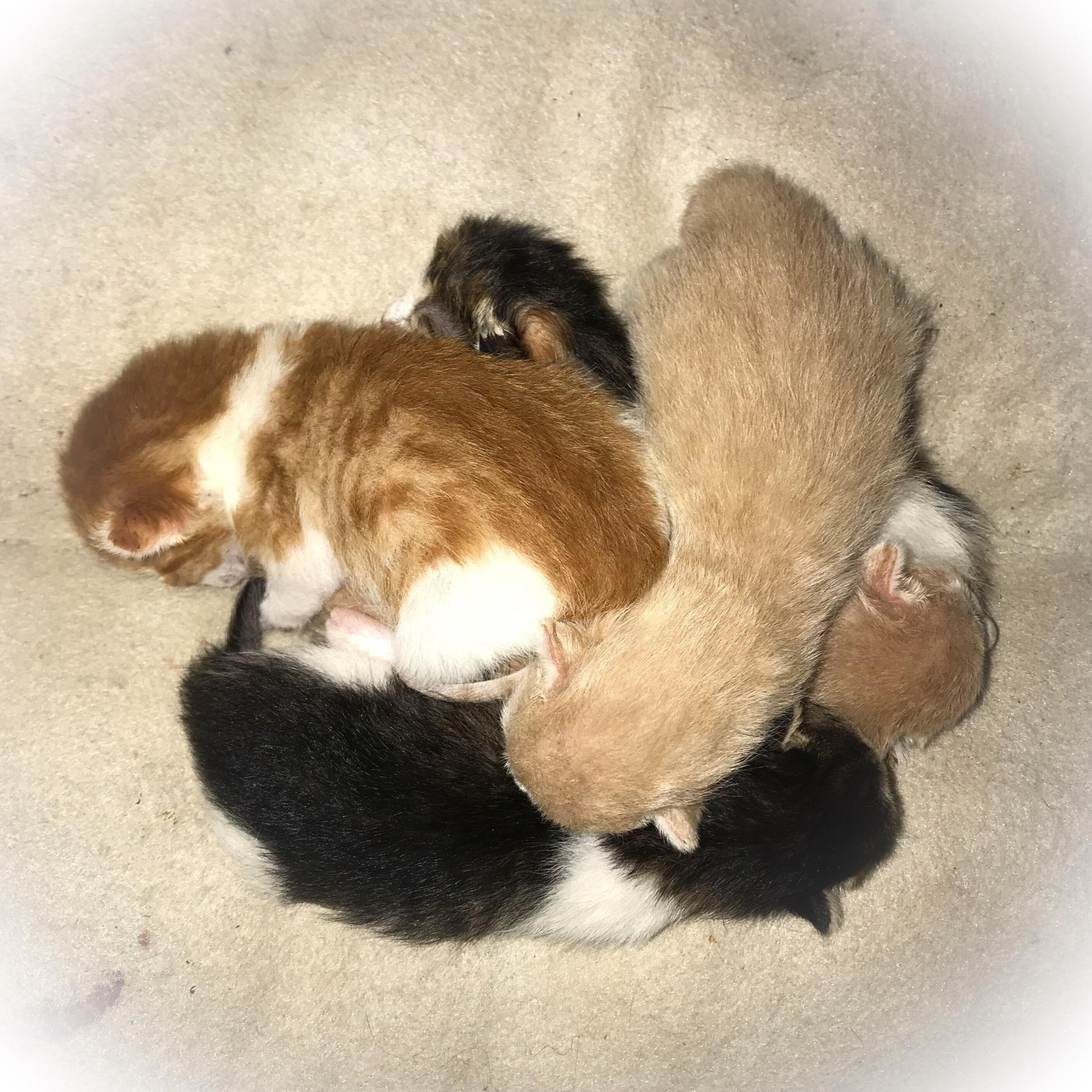 My Sweet Destiny Had Her Babies Last Night 5 Kittens In Her First Last Litter Kittens Kittens Cutest Cute Cats
