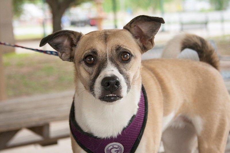 Chug dog for Adoption in Rowayton, CT. ADN527683 on
