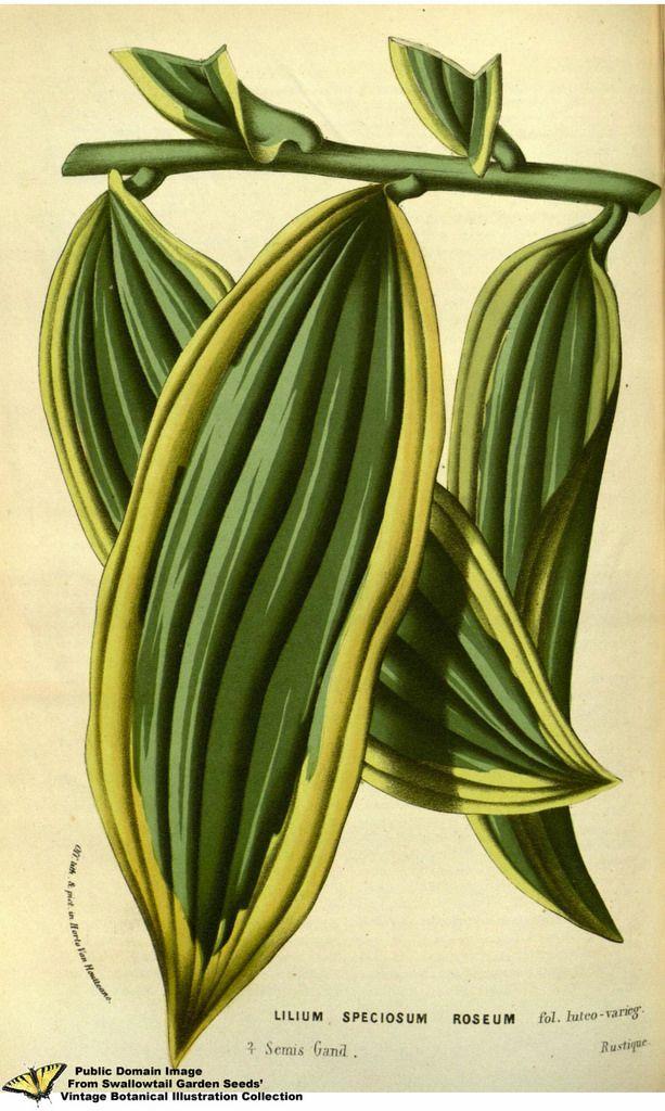 Lilium speciosum - var. folo luteo-varieg. (1858)