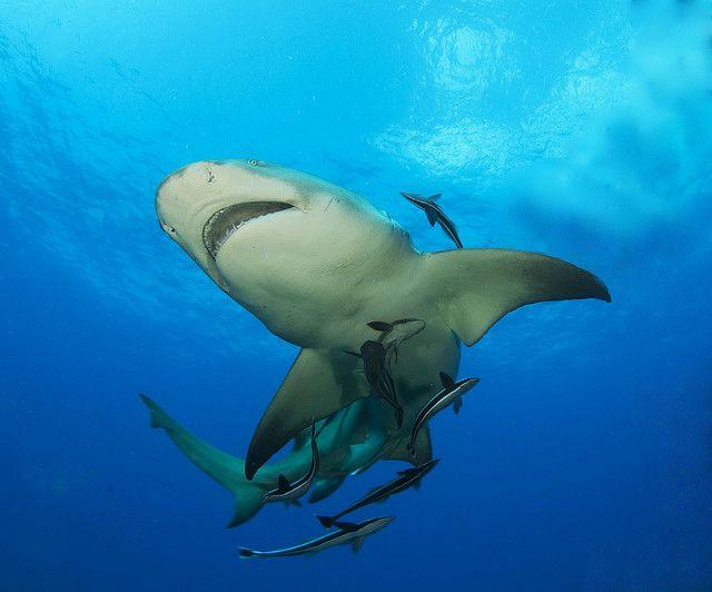 lemon shark 13 | Equipo de buceo, Buceo y Tiburones