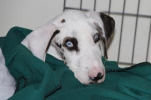 Valor is an adoptable Great Dane Dog in Austin, TX. This Great Dane puppy was found in an empty field in Bastrop County. Who know how long he's been wondering on his own. Extremely emaciated and skinn...