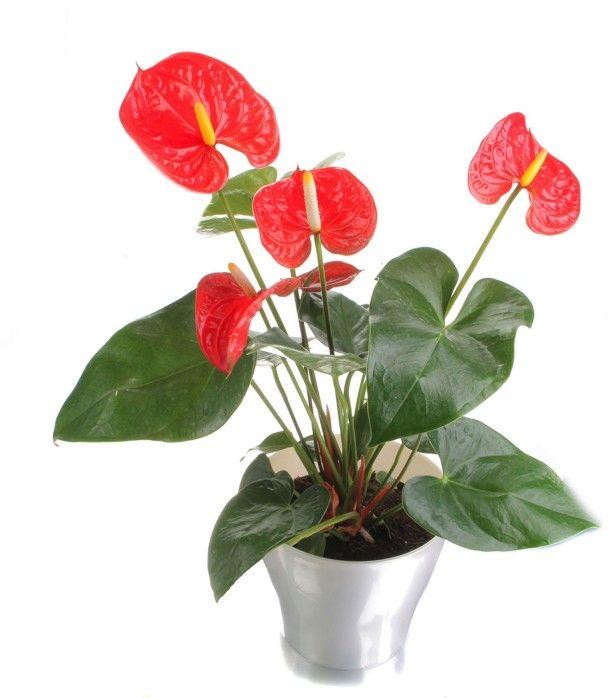 Anthurium Common House Plants Indoor Plants Low Light Plants