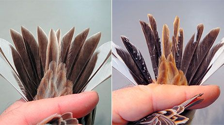 """Abnormal changes in small birds after 3/11: """"Bird banding surveys of the common reed bunting began in 1961, and nearly 480,000 of the birds have been examined,"""" said Kiyoaki Ozaki, deputy director-general of the institute. """"The tail feathers on the chicks and the adults have different shapes, so we monitor them closely. But this sort of abnormality hasn't been reported before. I've seen thousands of the birds, but it was the first time for me to see tail feathers like these."""""""