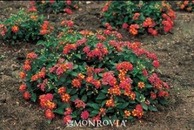 Patriot Rainbow Compact Lantana Monrovia Patriot Rainbow Compact Lantana Plants Fall Vegetables To Plant Starting Seeds Indoors