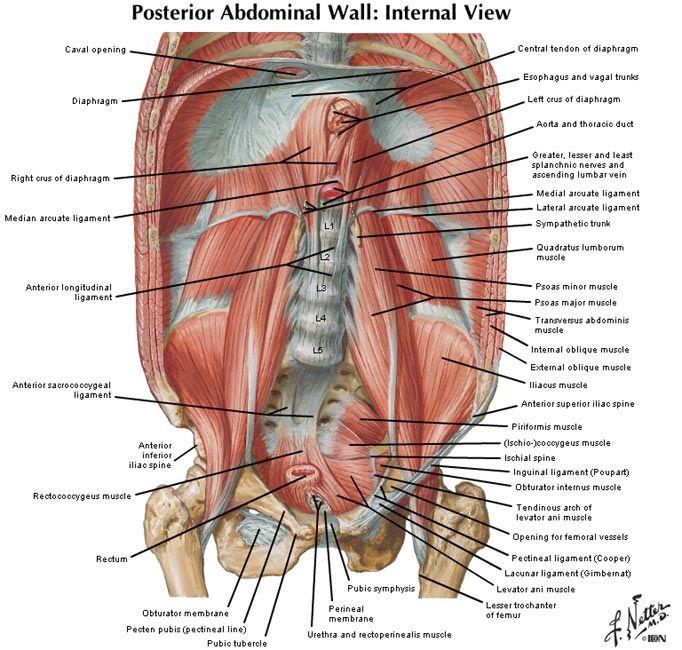 Surface Anatomy Of Abdomen Surgicalnotes Anatomy