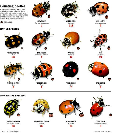 Beetles Ohio Lady Beetle Bugs And Insects Birds Bees Butterflies