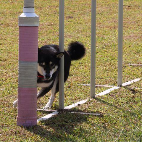 スラはシーズン終わっても毎朝練習だよー みか くま 犬 柴 ペットスマイル 犬 ペット くま