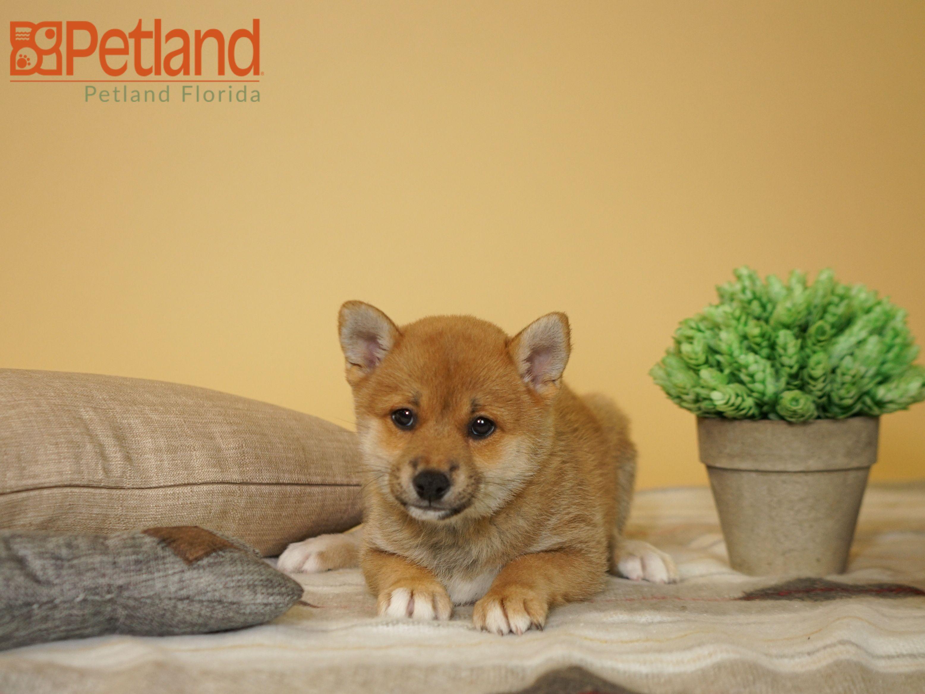 Petland Florida Has Miniature Schnauzer Puppies For Sale Check