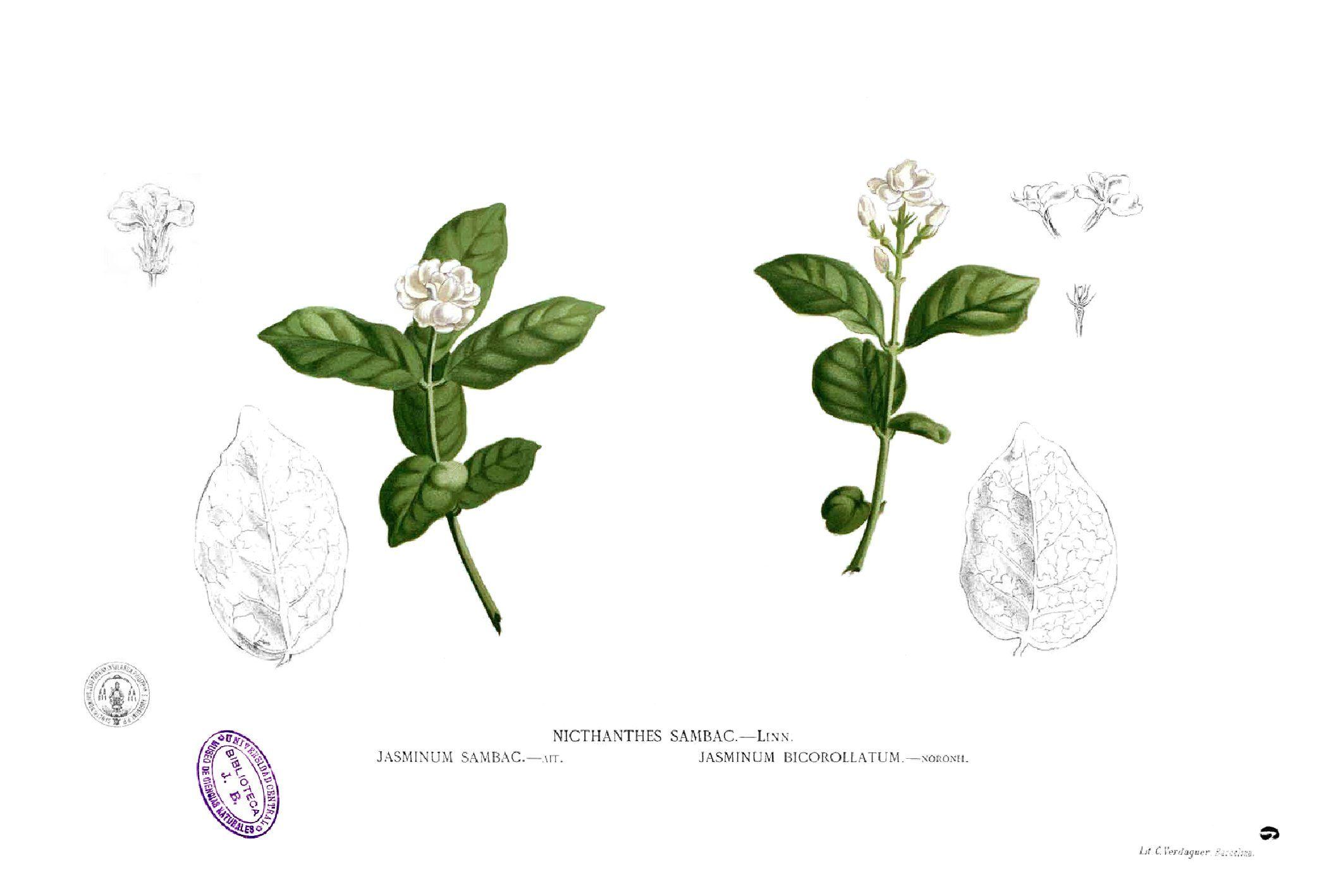 Sampaguita (Flower of the Philippines) Jasmine flower