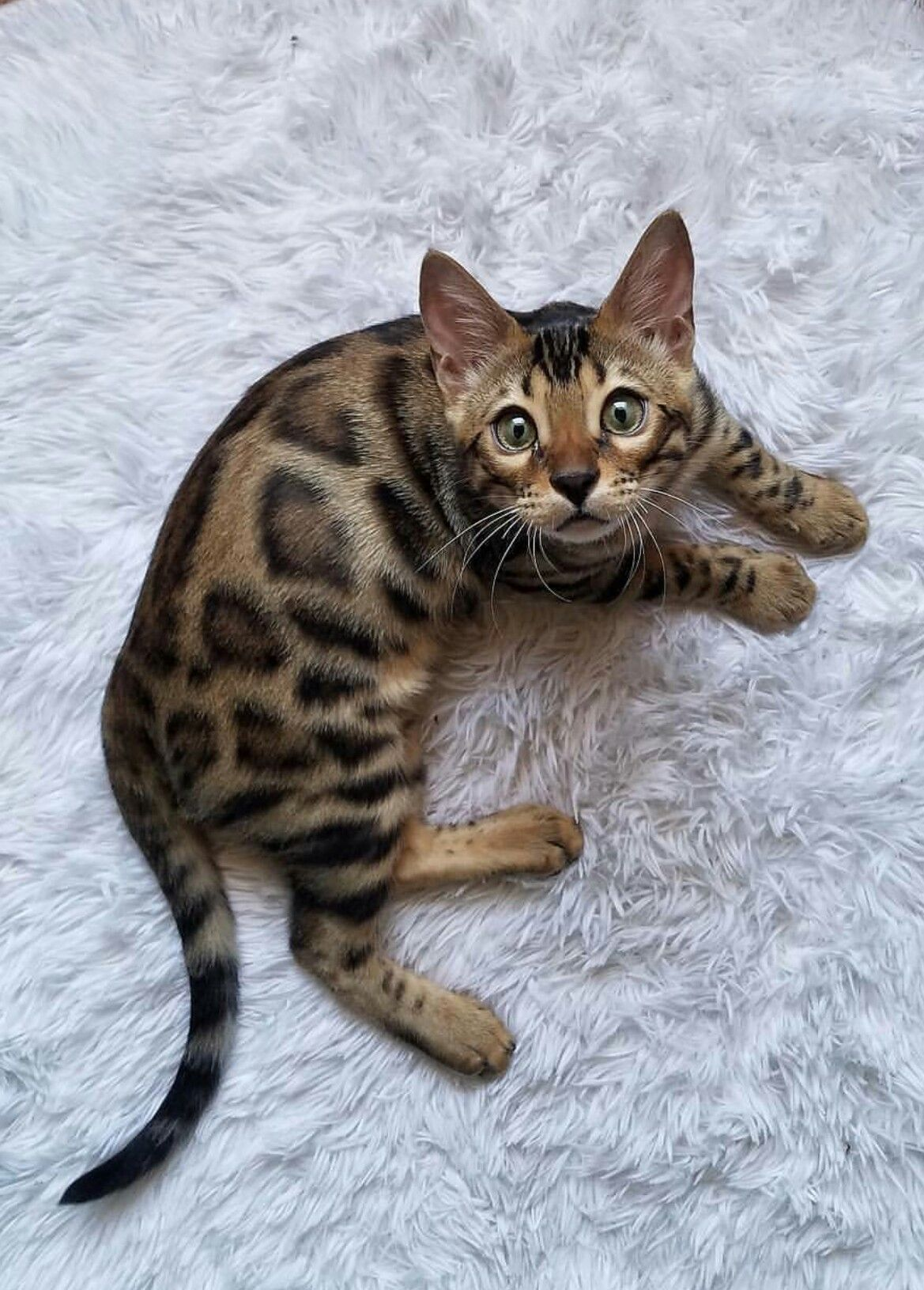 Bengal baby kitty Baby cats, Cool cats, Cat lovers