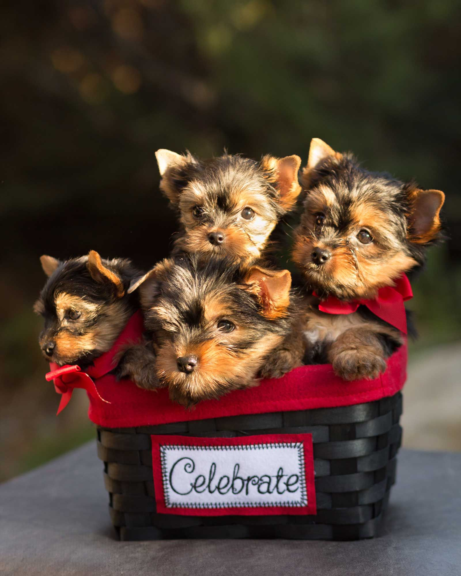Puppies For Sale Or Rent Yorkie Puppy Yorkshire Terrier Yorkie