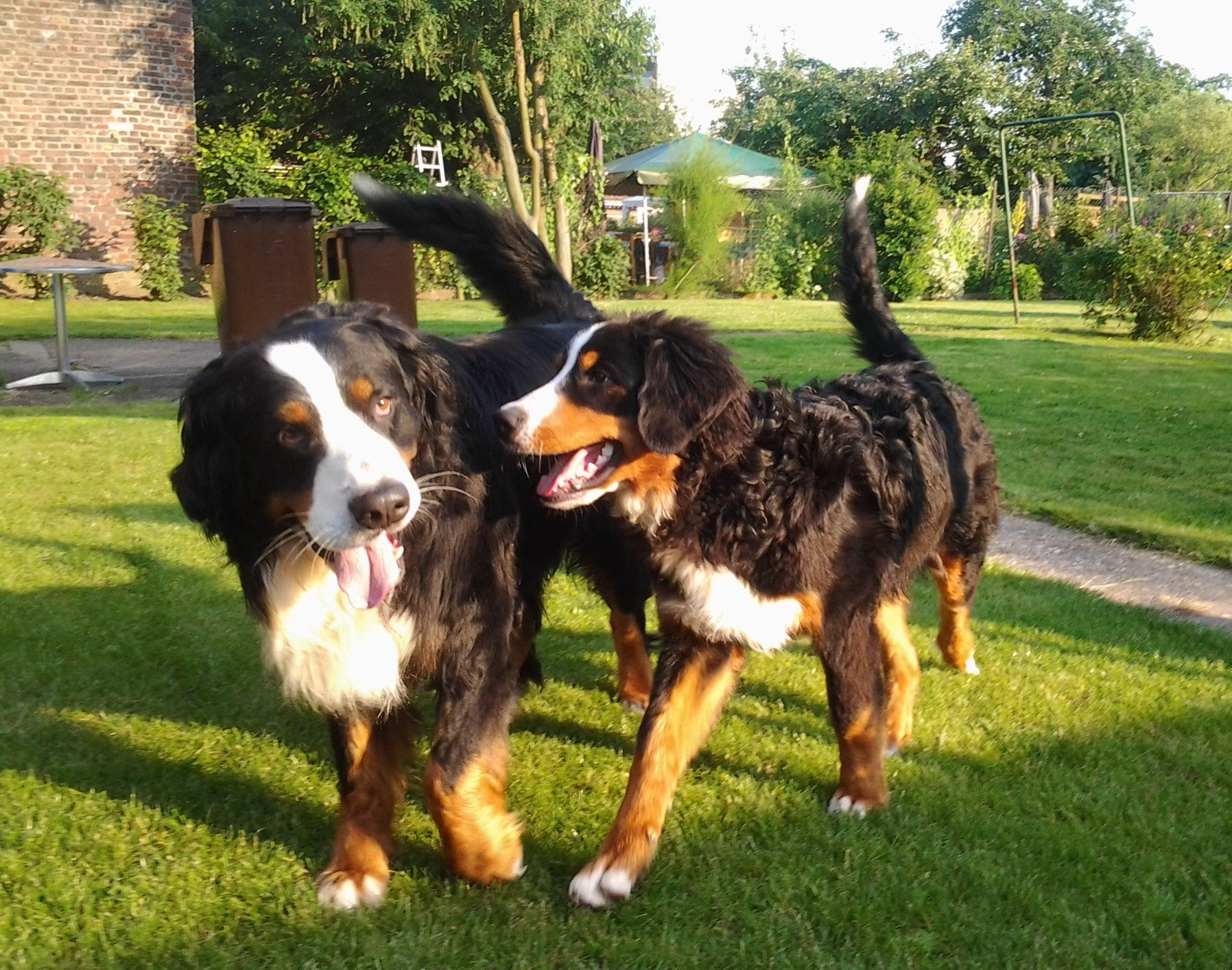 Thursdaytrivia Normal Adult Dogs Have How Many Teeth A 24 B 38 C 42 D 32 Mountain Dog Breeds Swiss Mountain Dogs Bernese Mountain