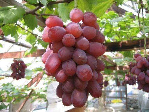 岡山県産紫苑しえん2房詰1.5kg