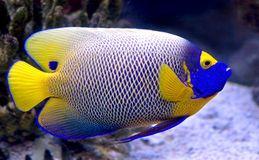 Queen Angelfish 2 Angel Fish Aquarium Fish Tank Beautiful Sea Creatures