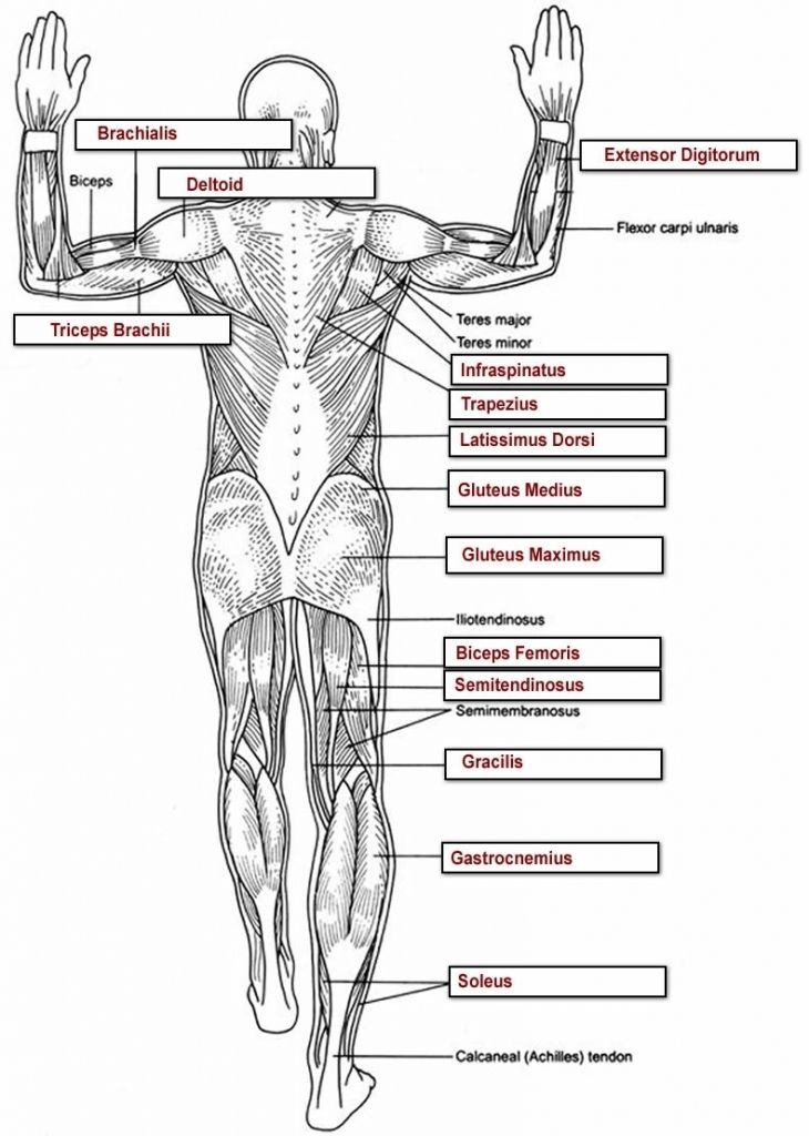 Human Anatomy Labeling Worksheets Tag Muscle Worksheets For Anatomy ...
