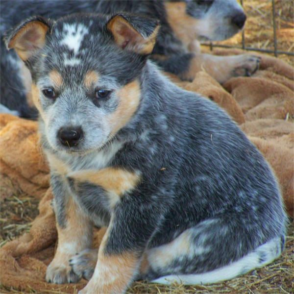 Lancashire Heeler Dog Photo Blue Heeler Puppies For Sale Blue