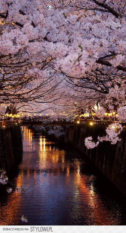 Cherry Blosoms in Full Bloom