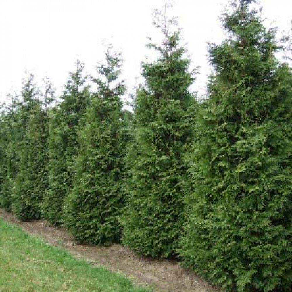 Thuja occidentalis Brabant Туя | Хвойные | Pinterest | Thuja occidentalis, Planting and Gardens