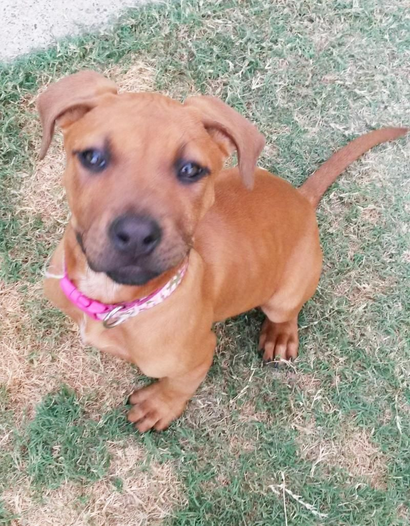 Adopt Amber on Boxer dogs, Boxer terrier mix, Dogs