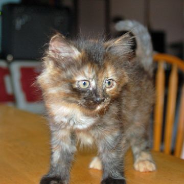 Siberian Kittens For Sale In Nh Torbie At 8 Weeks Siberian Kittens Siberian Cats For Sale Kittens