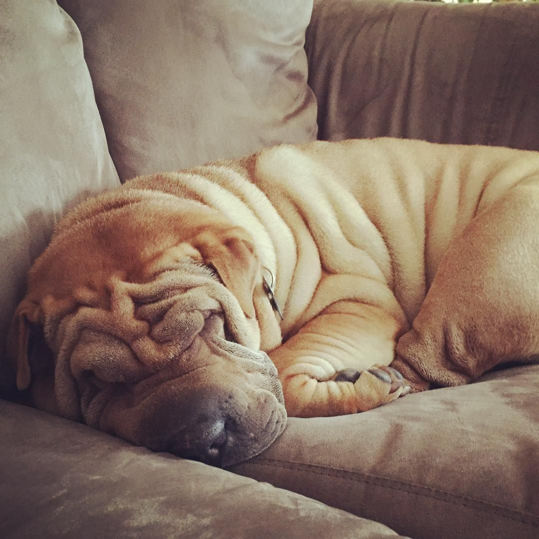 club de race shar pei