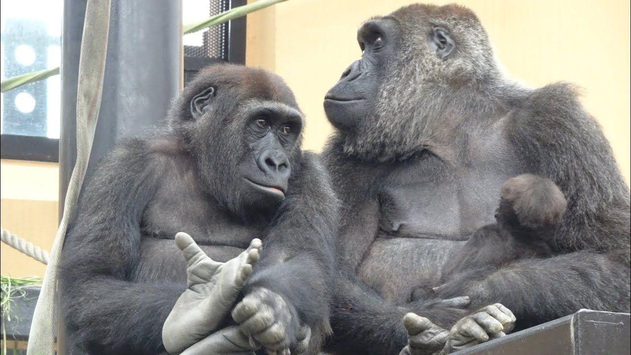 まるで人間のようにタバコを楽しんでいる24匹の猿 Dna ピグミーマーモセット 猿 動物