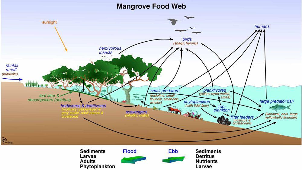 Mangrovefoodwebg 1000564 Food Webs Pinterest Food Webs